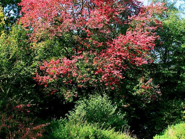 Red Maple (Acer Rubrum) http://www.sagebud.com/red-maple-acer-rubrum