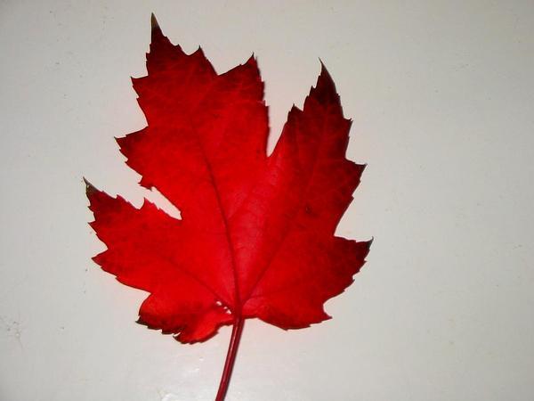 Red Maple (Acer Rubrum) http://www.sagebud.com/red-maple-acer-rubrum/
