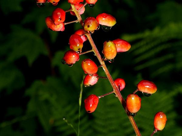 Red Baneberry (Actaea Rubra) http://www.sagebud.com/red-baneberry-actaea-rubra