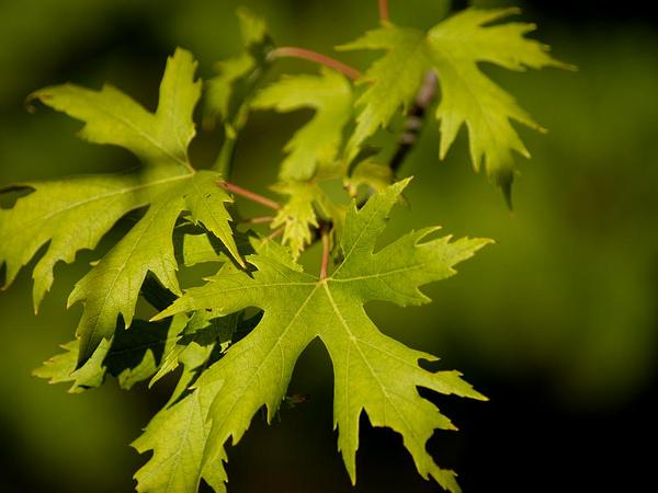 Silver Maple (Acer Saccharinum) http://www.sagebud.com/silver-maple-acer-saccharinum
