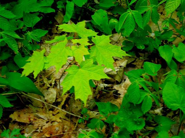 Sugar Maple (Acer Saccharum) http://www.sagebud.com/sugar-maple-acer-saccharum