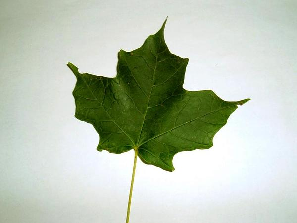 Sugar Maple (Acer Saccharum) http://www.sagebud.com/sugar-maple-acer-saccharum/