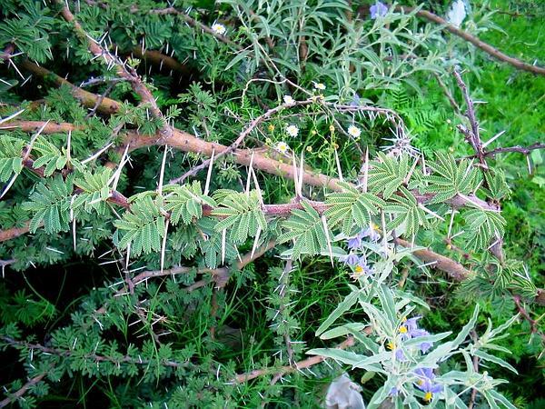 Schaffner's Wattle (Acacia Schaffneri) http://www.sagebud.com/schaffners-wattle-acacia-schaffneri