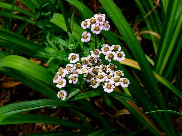 Siberian Yarrow (Achillea Sibirica)