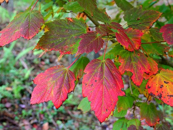 Mountain Maple (Acer Spicatum) http://www.sagebud.com/mountain-maple-acer-spicatum