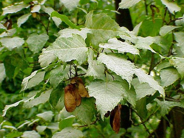 Tatarian Maple (Acer Tataricum) http://www.sagebud.com/tatarian-maple-acer-tataricum
