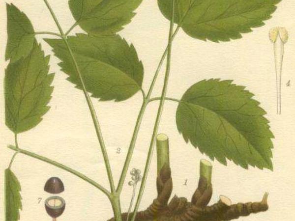 Baneberry (Actaea) http://www.sagebud.com/baneberry-actaea