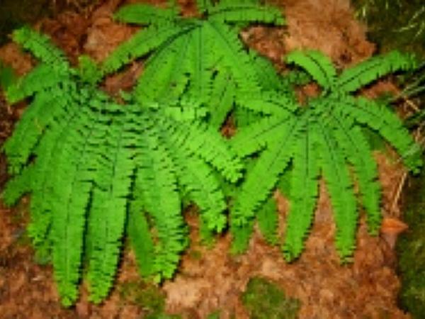 Aleutian Maidenhair (Adiantum Aleuticum) http://www.sagebud.com/aleutian-maidenhair-adiantum-aleuticum