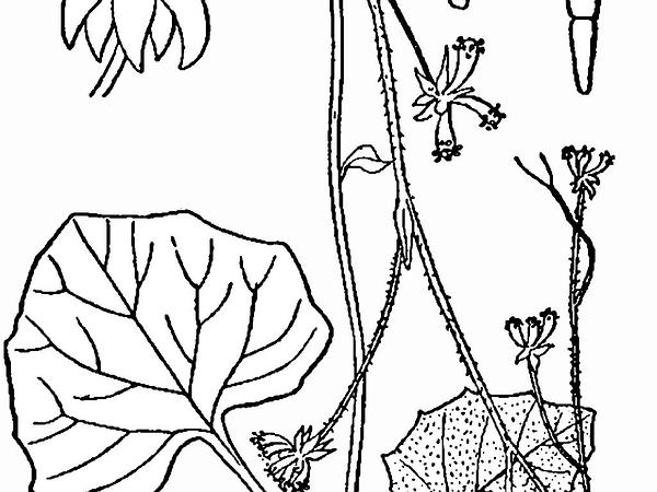 American Trailplant (Adenocaulon Bicolor) http://www.sagebud.com/american-trailplant-adenocaulon-bicolor