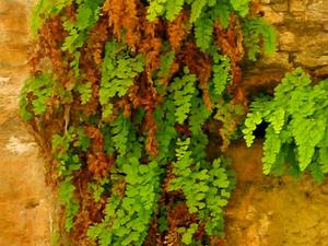 Common Maidenhair