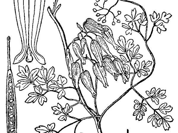 Allegheny Vine (Adlumia Fungosa) http://www.sagebud.com/allegheny-vine-adlumia-fungosa