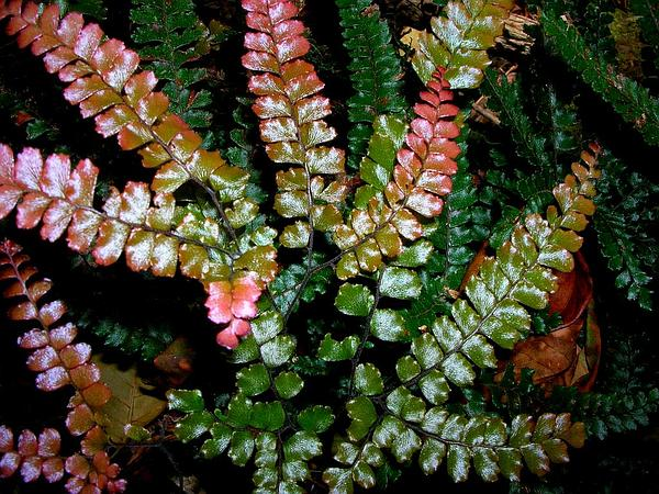 Rough Maidenhair (Adiantum Hispidulum) http://www.sagebud.com/rough-maidenhair-adiantum-hispidulum