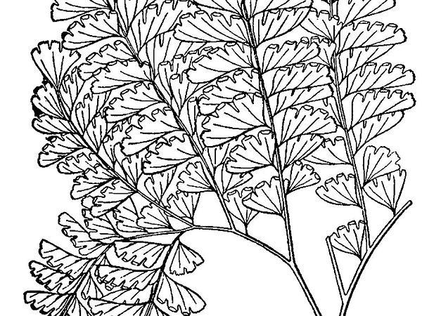 Maidenhair Fern (Adiantum) http://www.sagebud.com/maidenhair-fern-adiantum