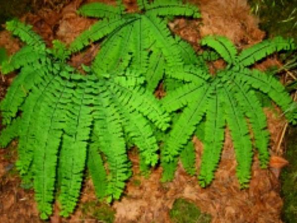 Maidenhair Fern (Adiantum) http://www.sagebud.com/maidenhair-fern-adiantum/
