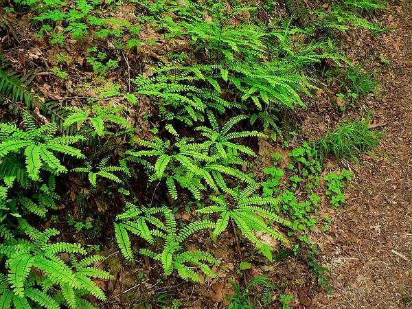 Northern Maidenhair (Adiantum Pedatum) http://www.sagebud.com/northern-maidenhair-adiantum-pedatum/