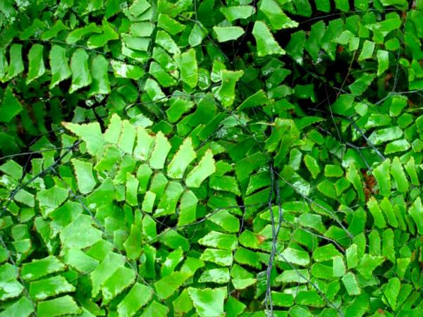 Diamond Maidenhair (Adiantum Trapeziforme)