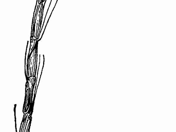 Jointed Goatgrass (Aegilops Cylindrica) http://www.sagebud.com/jointed-goatgrass-aegilops-cylindrica