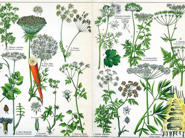 Fool's Parsley (Aethusa Cynapium) http://www.sagebud.com/fools-parsley-aethusa-cynapium