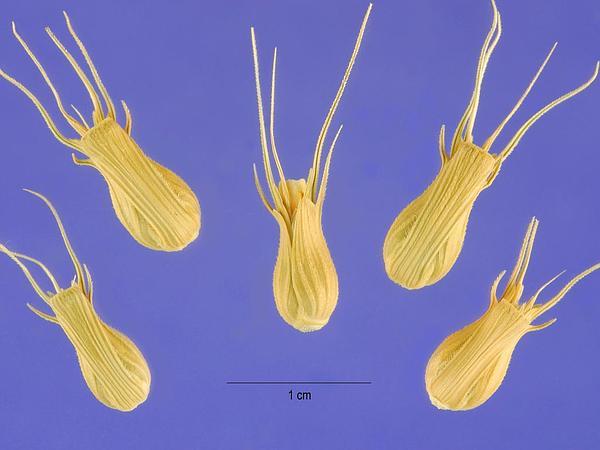 Goatgrass (Aegilops) http://www.sagebud.com/goatgrass-aegilops