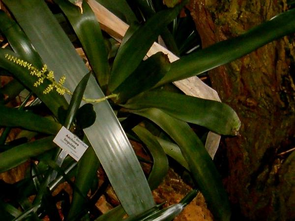 West Indian Livingvase (Aechmea Lingulata) http://www.sagebud.com/west-indian-livingvase-aechmea-lingulata