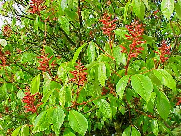 Red Buckeye (Aesculus Pavia) http://www.sagebud.com/red-buckeye-aesculus-pavia/