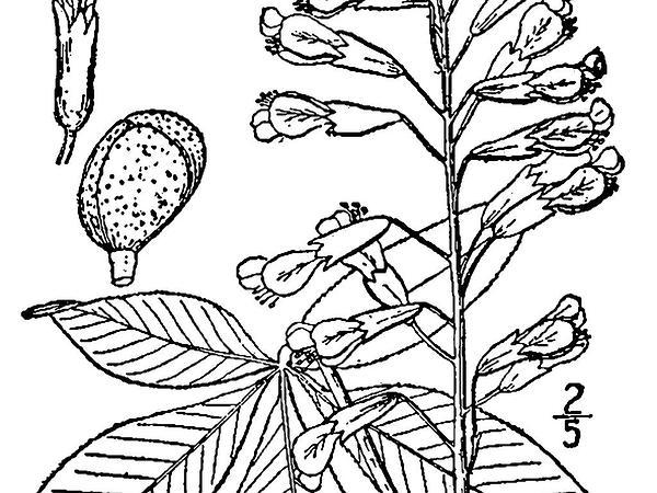 Red Buckeye (Aesculus Pavia) http://www.sagebud.com/red-buckeye-aesculus-pavia