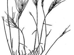 Barbed Goatgrass