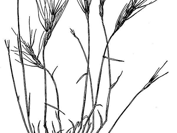 Barbed Goatgrass (Aegilops Triuncialis) http://www.sagebud.com/barbed-goatgrass-aegilops-triuncialis