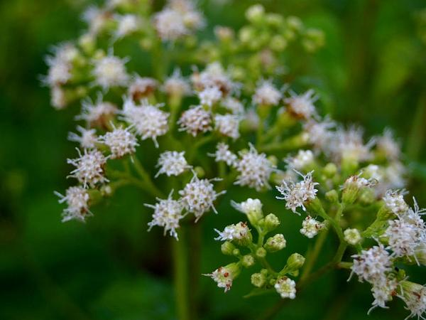 White Snakeroot (Ageratina Altissima) http://www.sagebud.com/white-snakeroot-ageratina-altissima/