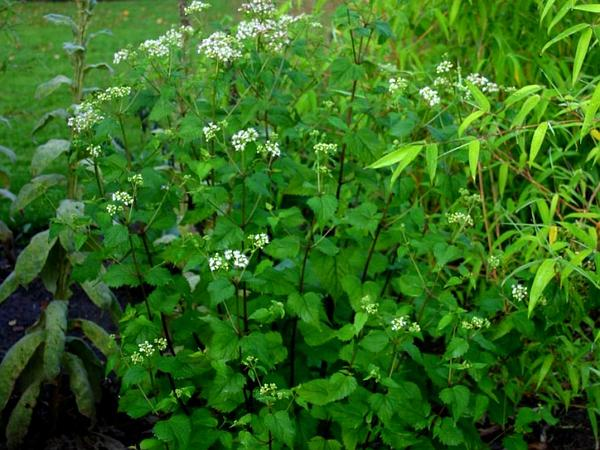 White Snakeroot (Ageratina Altissima) http://www.sagebud.com/white-snakeroot-ageratina-altissima