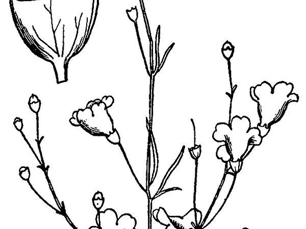 False Foxglove (Agalinis) http://www.sagebud.com/false-foxglove-agalinis