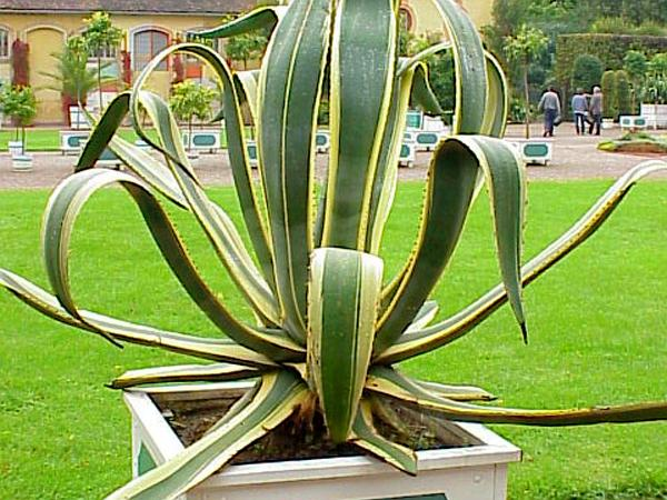 American Century Plant (Agave Americana) http://www.sagebud.com/american-century-plant-agave-americana/