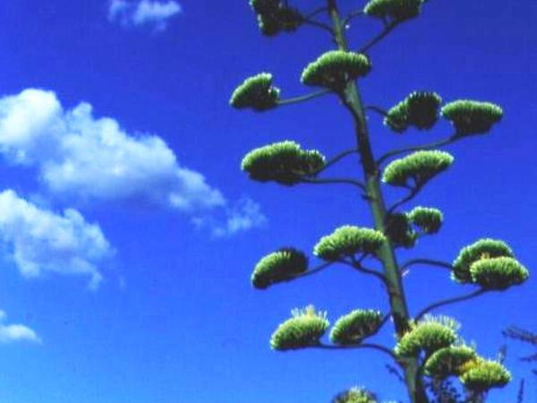 American Century Plant (Agave Americana) http://www.sagebud.com/american-century-plant-agave-americana/