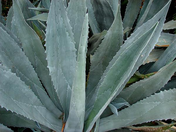 American Century Plant (Agave Americana) http://www.sagebud.com/american-century-plant-agave-americana