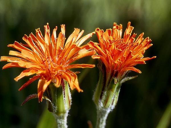 Orange Agoseris (Agoseris Aurantiaca) http://www.sagebud.com/orange-agoseris-agoseris-aurantiaca