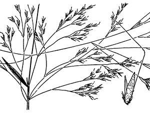Pacific Bentgrass