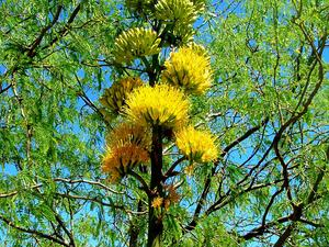 AGCH2/Agave-chrysantha-20080330_300.JPG