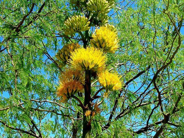 Goldenflower Century Plant (Agave Chrysantha) http://www.sagebud.com/goldenflower-century-plant-agave-chrysantha