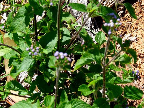 Tropical Whiteweed (Ageratum Conyzoides) http://www.sagebud.com/tropical-whiteweed-ageratum-conyzoides