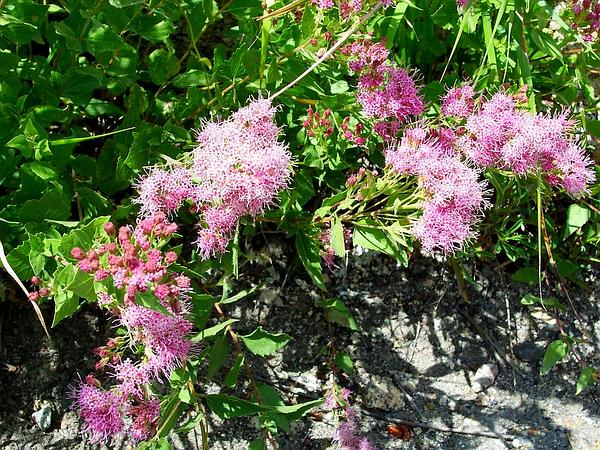 Flat-Top Whiteweed (Ageratum Corymbosum) http://www.sagebud.com/flat-top-whiteweed-ageratum-corymbosum/