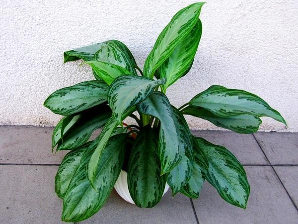 Philippine Evergreen (Aglaonema Commutatum) http://www.sagebud.com/philippine-evergreen-aglaonema-commutatum/