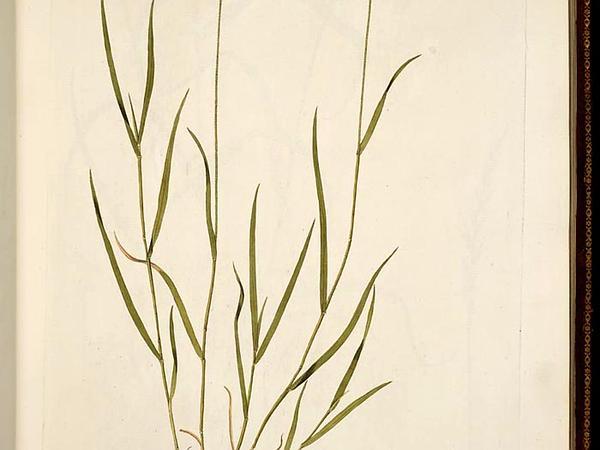 Crested Wheatgrass (Agropyron Cristatum) http://www.sagebud.com/crested-wheatgrass-agropyron-cristatum