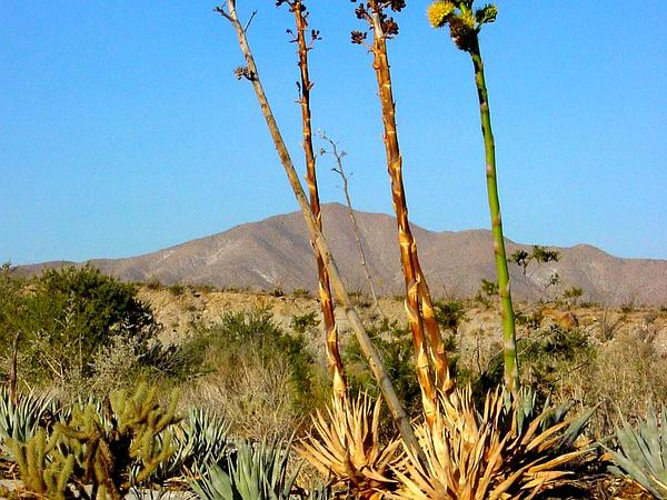 Desert Agave (Agave Deserti) http://www.sagebud.com/desert-agave-agave-deserti