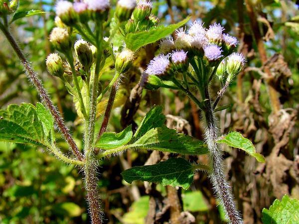 Whiteweed (Ageratum) http://www.sagebud.com/whiteweed-ageratum