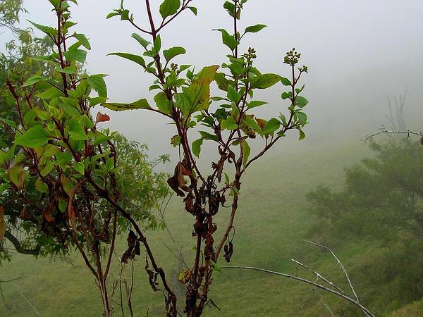 Snakeroot (Ageratina) http://www.sagebud.com/snakeroot-ageratina