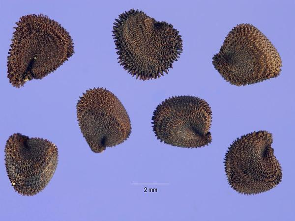 Common Corncockle (Agrostemma Githago) http://www.sagebud.com/common-corncockle-agrostemma-githago/