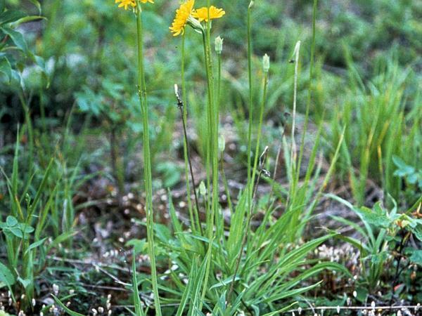 Pale Agoseris (Agoseris Glauca) http://www.sagebud.com/pale-agoseris-agoseris-glauca