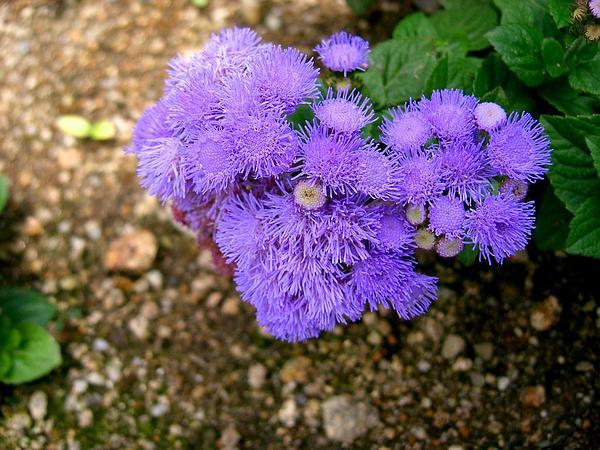 Bluemink (Ageratum Houstonianum) http://www.sagebud.com/bluemink-ageratum-houstonianum