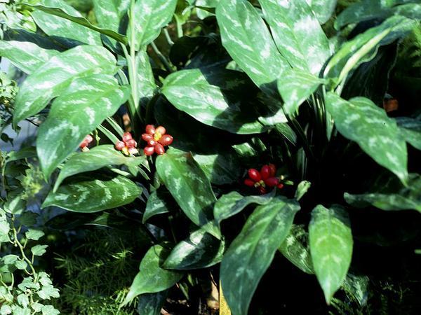 Aglaonema (Aglaonema) http://www.sagebud.com/aglaonema-aglaonema/
