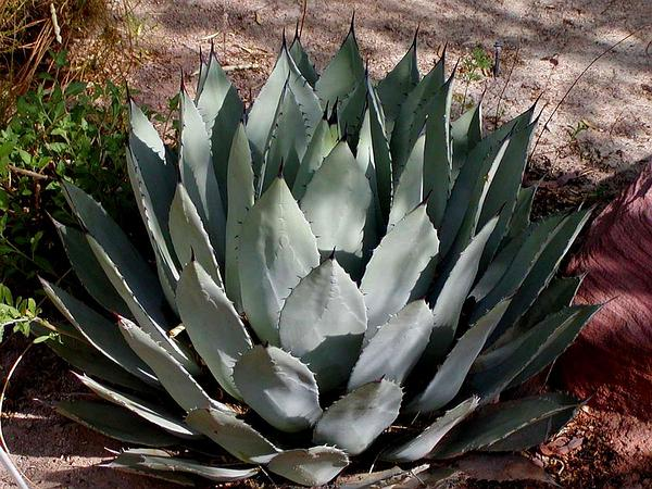 Palmer's Century Plant (Agave Palmeri) http://www.sagebud.com/palmers-century-plant-agave-palmeri/